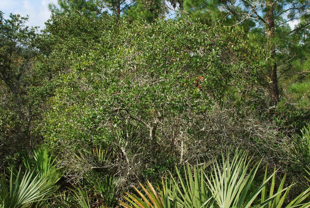 Tree form (Polk County, FL)-Mid Fall