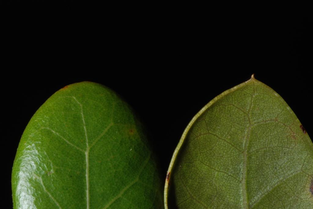 Entire margins with bristle tip (Polk County, FL)-Mid Fall