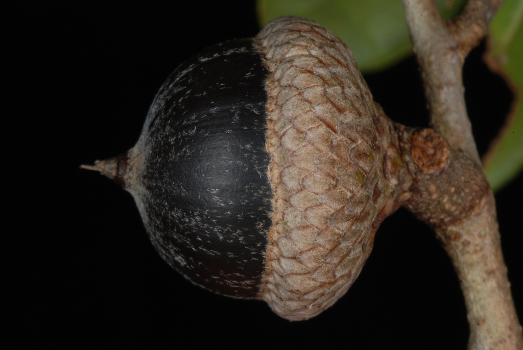 Side view of acorn (Polk County, FL)-Mid Fall