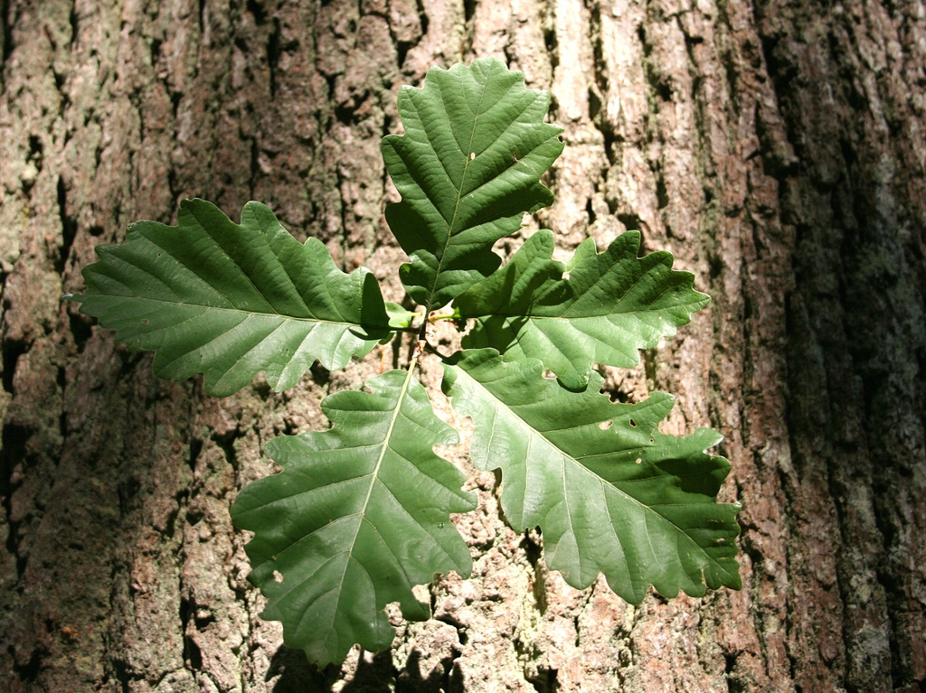 Bark and leaf