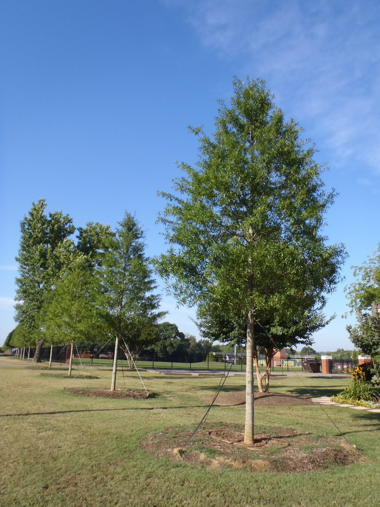 Quercus phellow