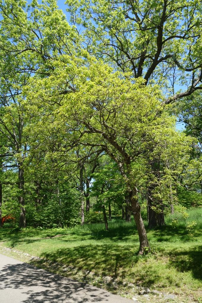 Form- Arnold Arboretum
