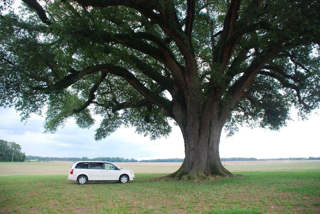 Large mature tree (Seminole County, GA)-Late Spring