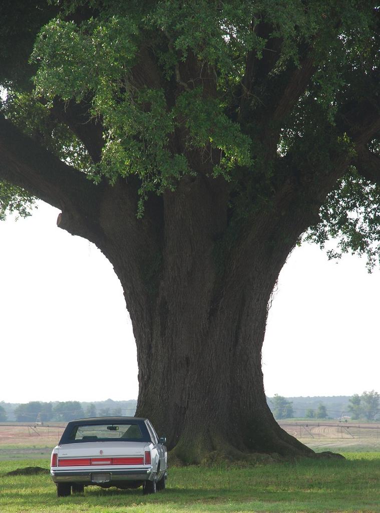 Mature trunk (Seminole County, GA)-Late Spring