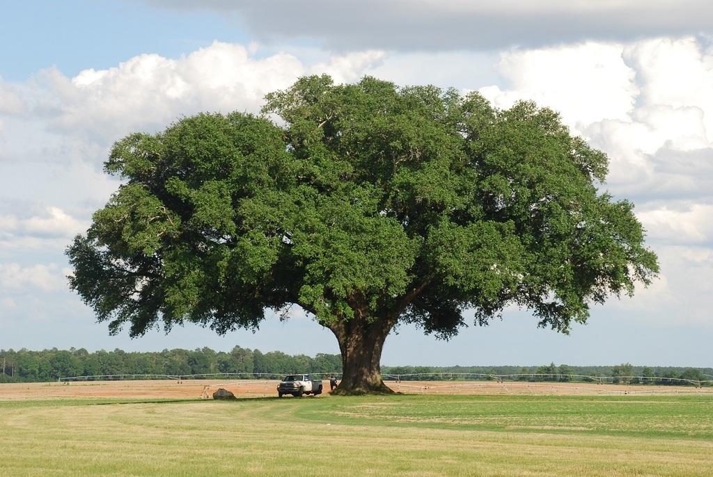 Form of mature tree (Seminole County, GA)-Late Spring