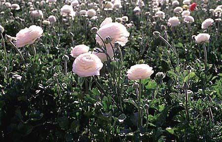 Ranunculus hybrids