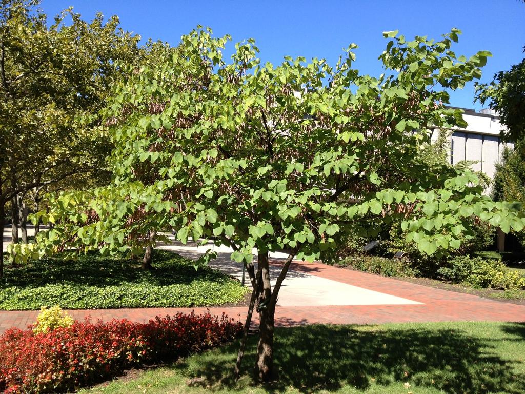 Cercis Canadensis American Judas Tree American Redbud Eastern