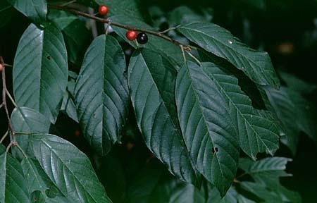 Rhamnus spp.