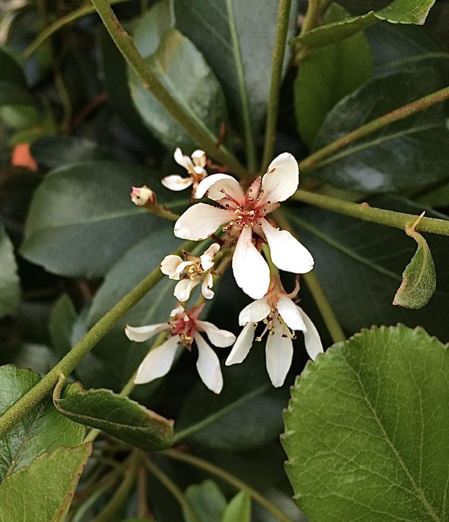 'Clara' flower closeup, spring, Durham County, NC
