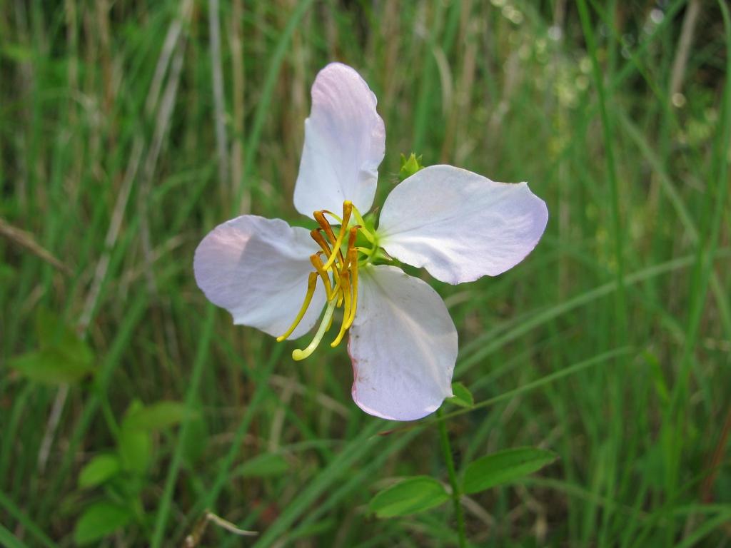Rhexia mariana flower