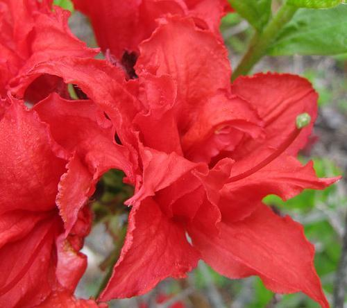 Rhododendron Knaphill Homebush hybrid