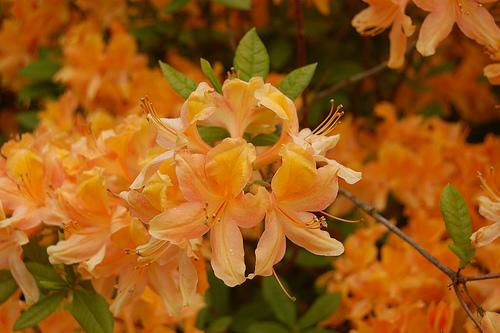 Rhododendron Knaphill Apricot hybrid