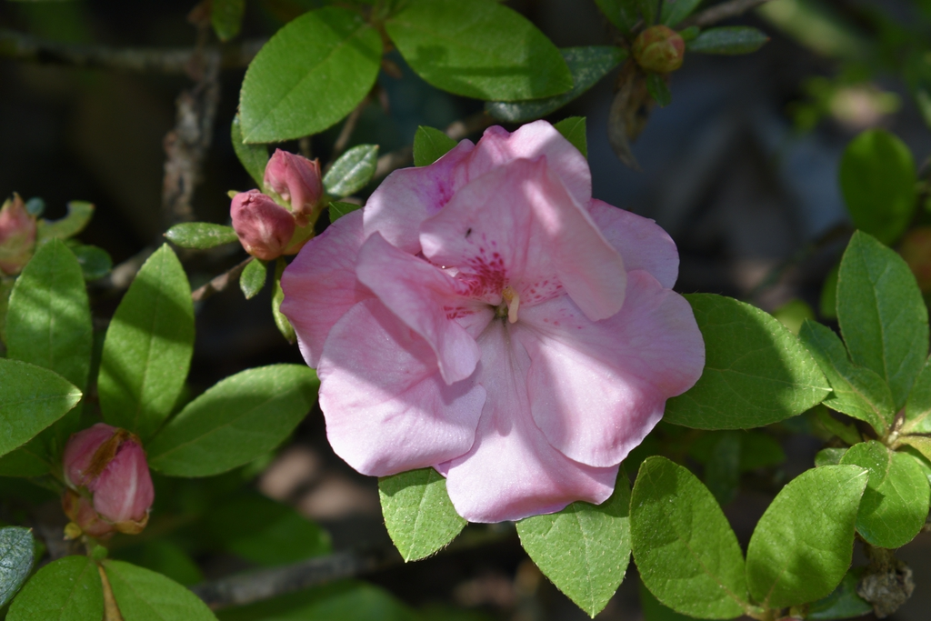 'Nancy of Robin Hill' - Flower - April 22 - Wake Co., NC
