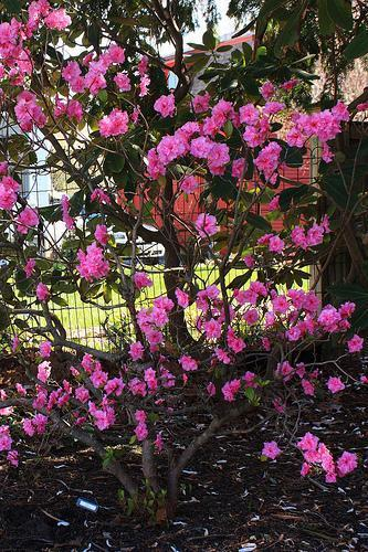 PJM Rhododendron Weston's Pink Diamond