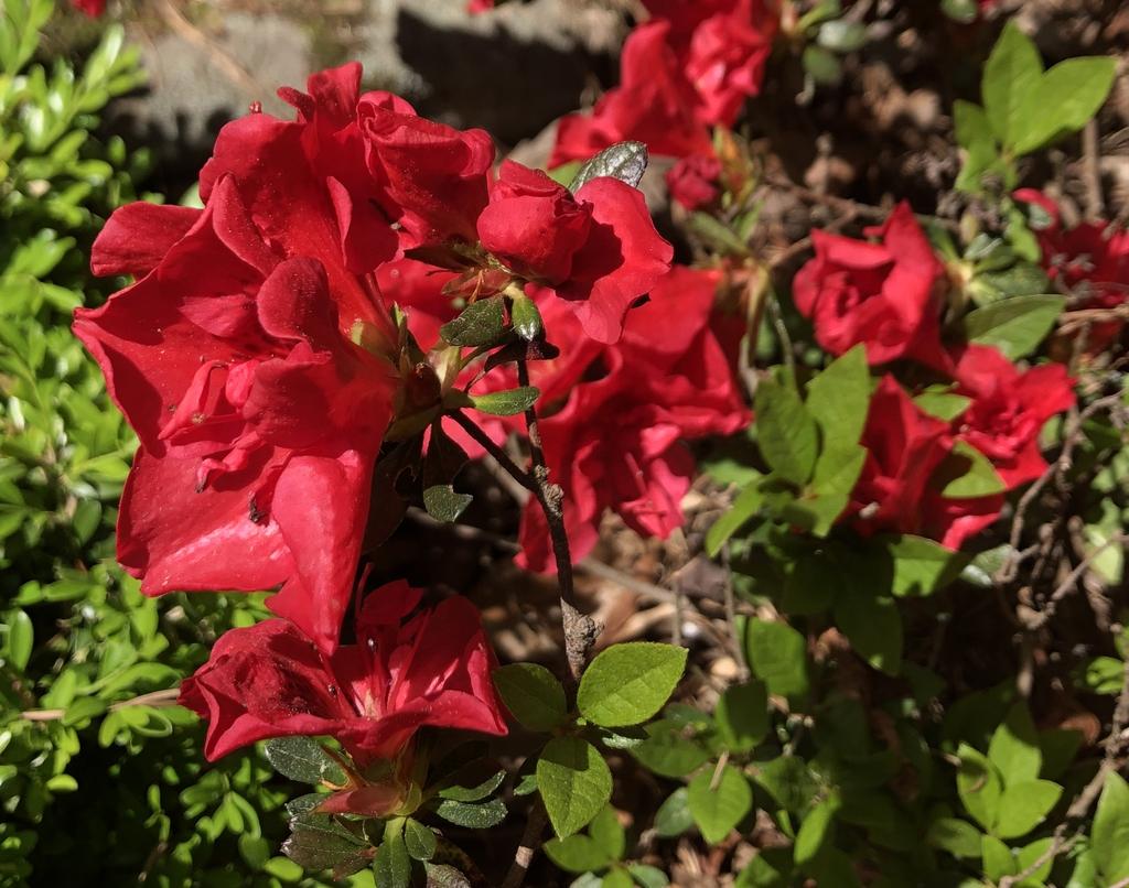 'Roblez' - Azalea Autumn Fire