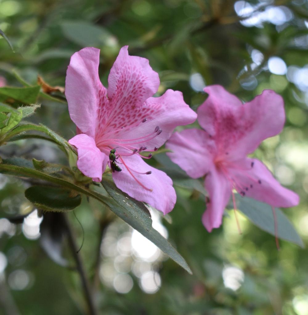Azalea Flower - Wake Co., NC