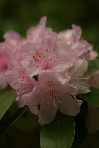 Rhododendron carolinianum detail
