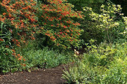Rhododendron prunifolium
