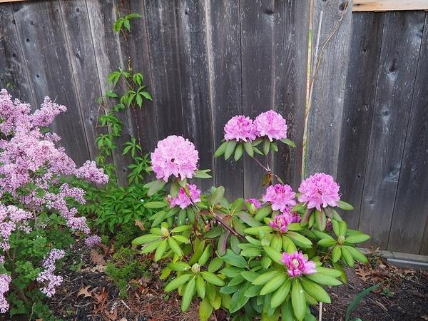 Rhododendron prinophyllum 'Eleagans'
