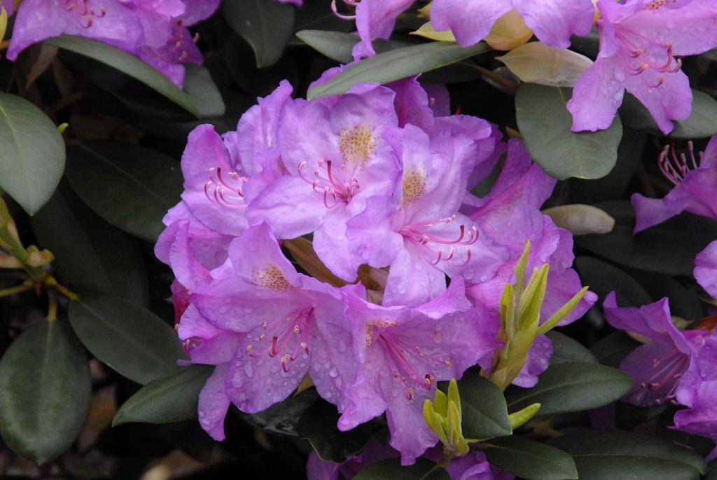 Rhododendron catawbiense 'Boursault' Flower