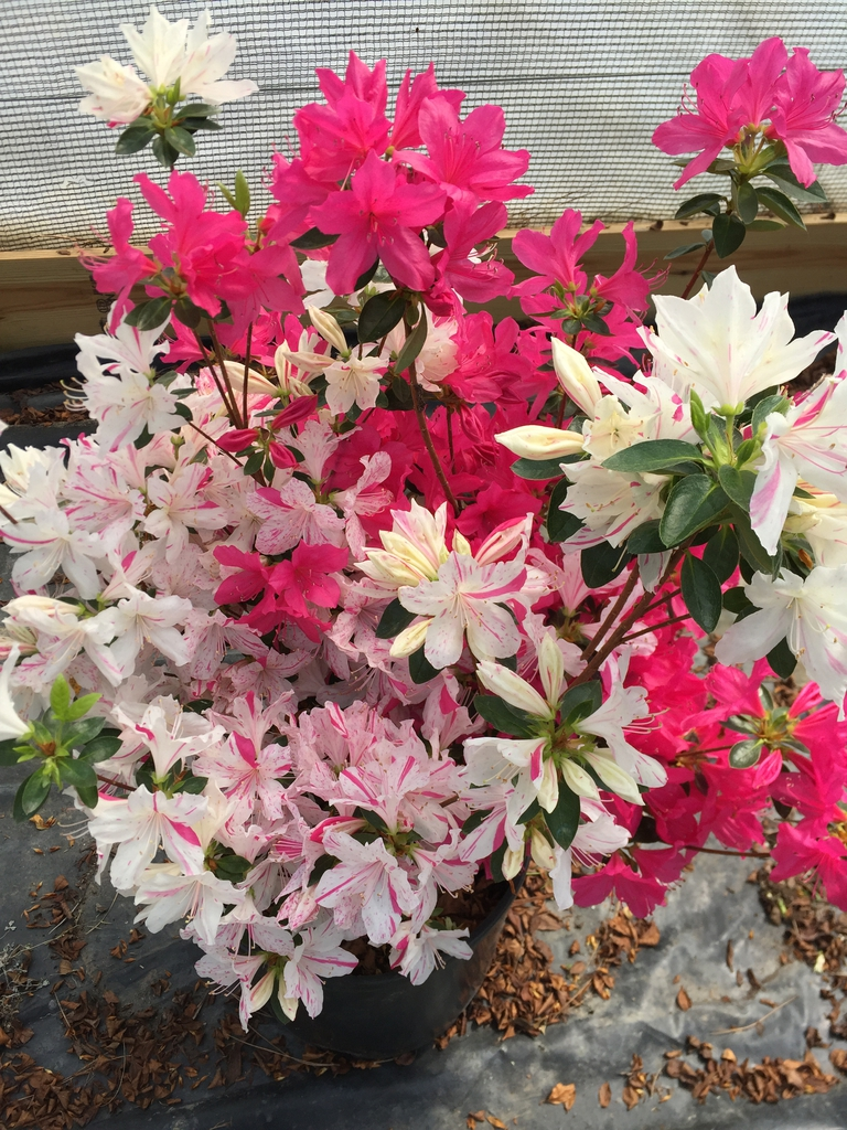 Rhododendron Festive
