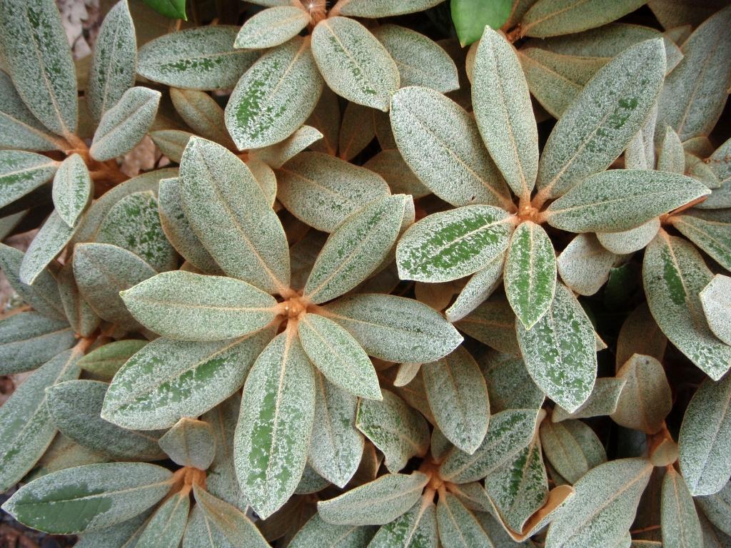 Rhododendron Silver Bear lf 070709 WhitneyG WA