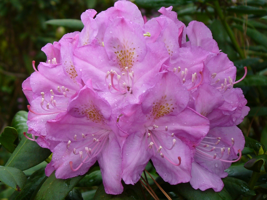 Rhododendron 'Dr. A. Blok' flower in spring in Moore County