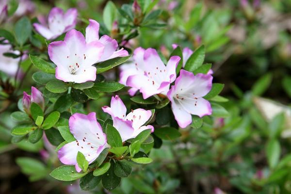 Rhododendron eriocarpum