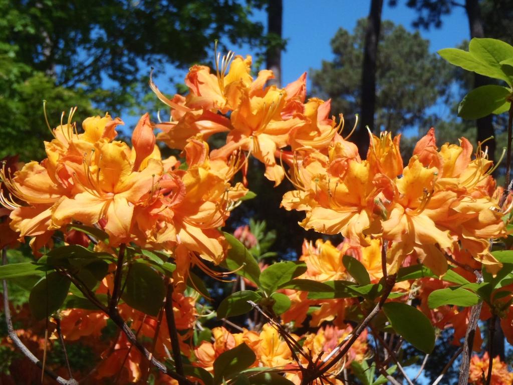 Rhododendron x Stonewall Jackson