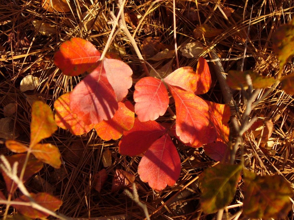 Rhus aromatica 'Gro-low' autumn leaves in Moore County