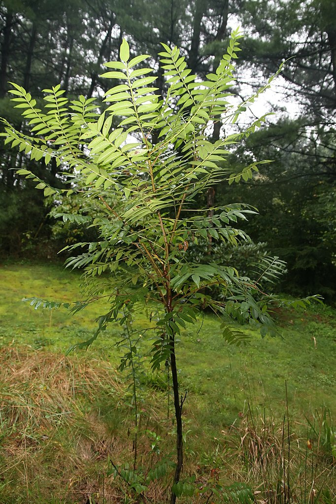 Young tree form