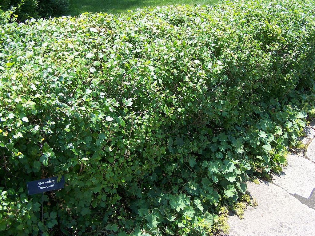 Used as a hedge