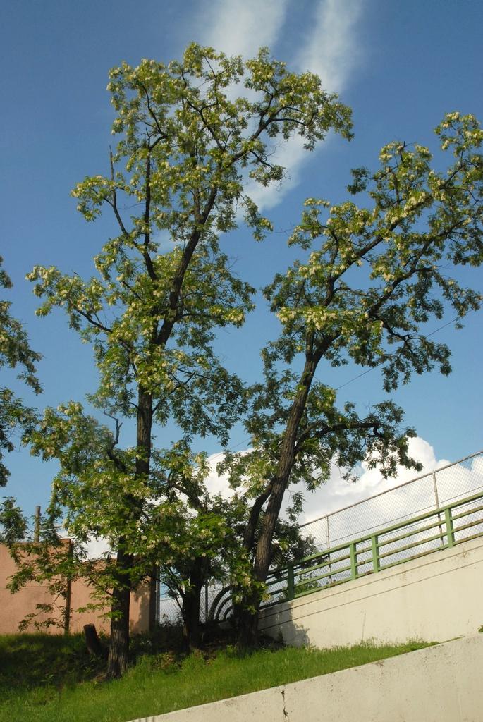 Robinia pseudoacacia Form