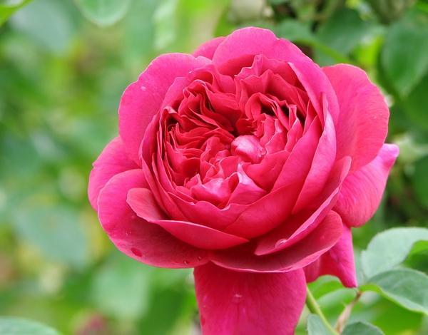 Rosa 'AUSbloom'