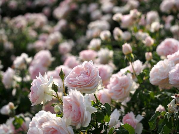 Rosa 'AUSreef'