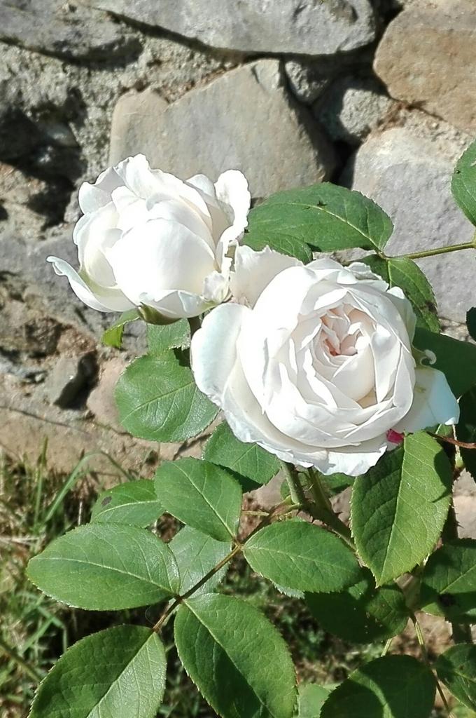 Rosa 'AUScat'