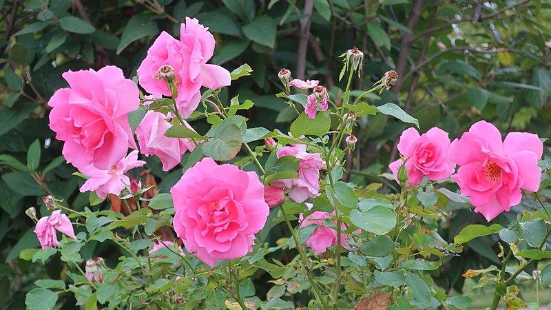 Rosa 'BUCbi'