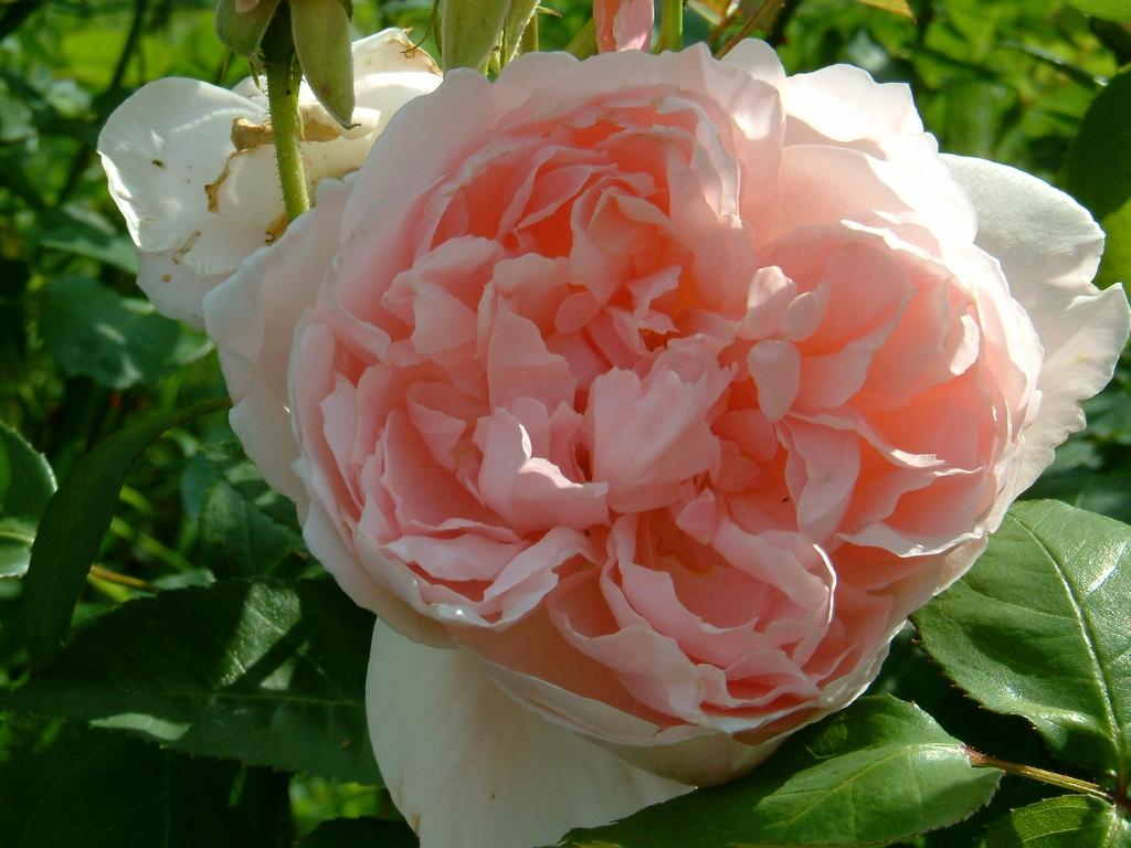 Rosa 'Katherine Morley'
