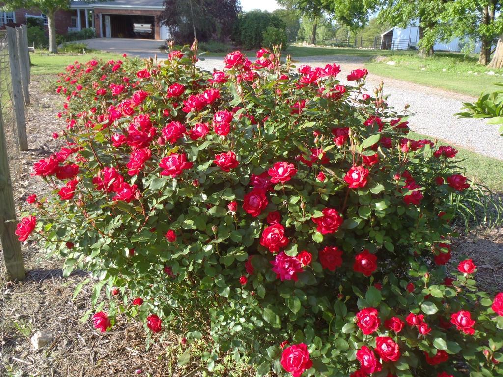 Rosa hybrida 'Radrazz'