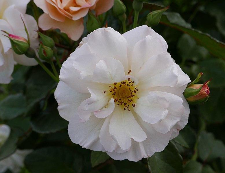 Rosa 'Penelope' Pemberton