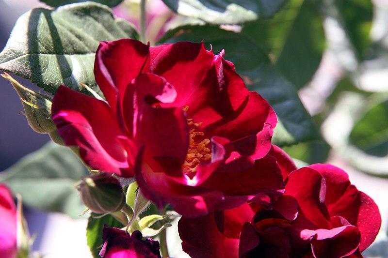 Rosa 'Don Juan'