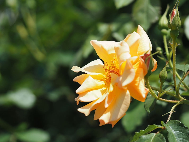 Rosa 'Autumn Sunset'