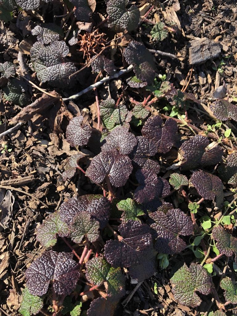 Rubus hayata-koidzumii