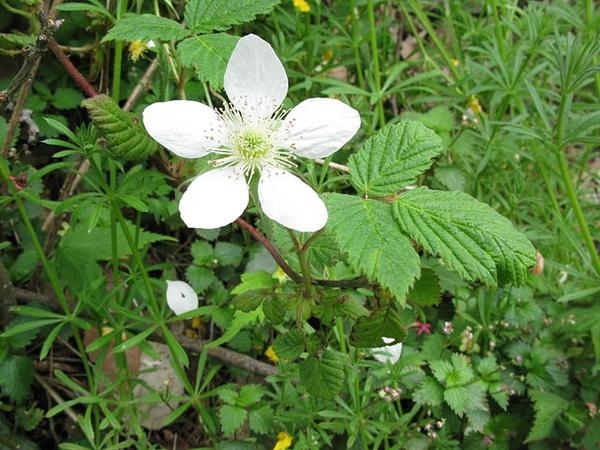 Rubus hirsutus