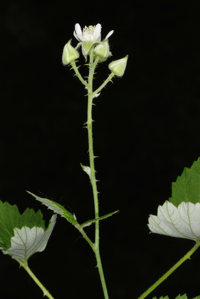 Stem with thorns (Monroe County, NY)-Late Spring