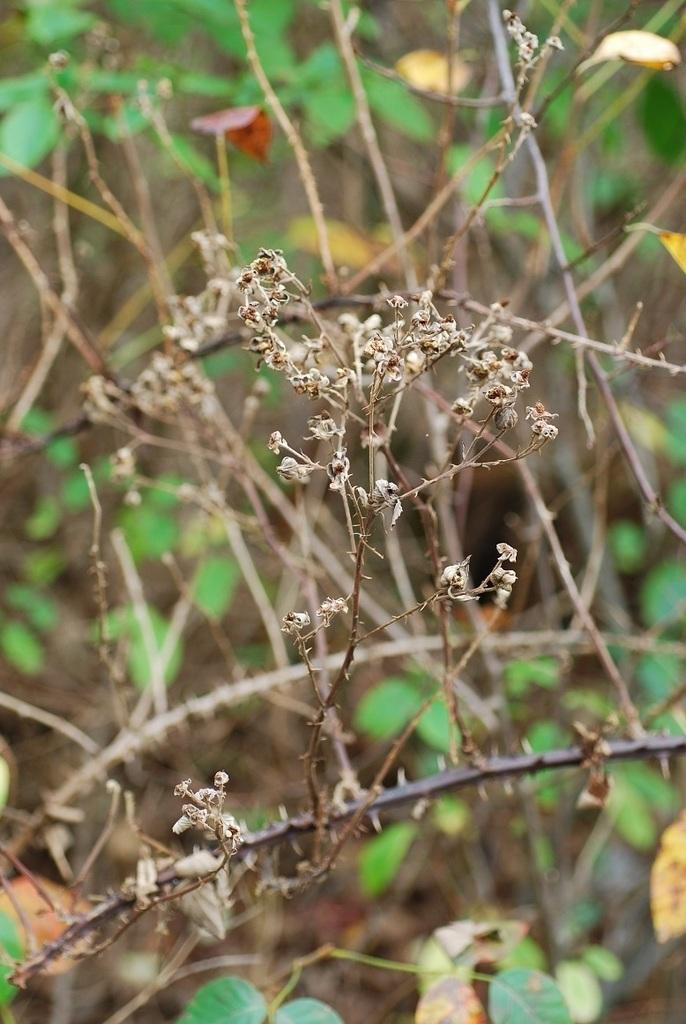 Fruits forming (Brighton, NY)-Mid Fall