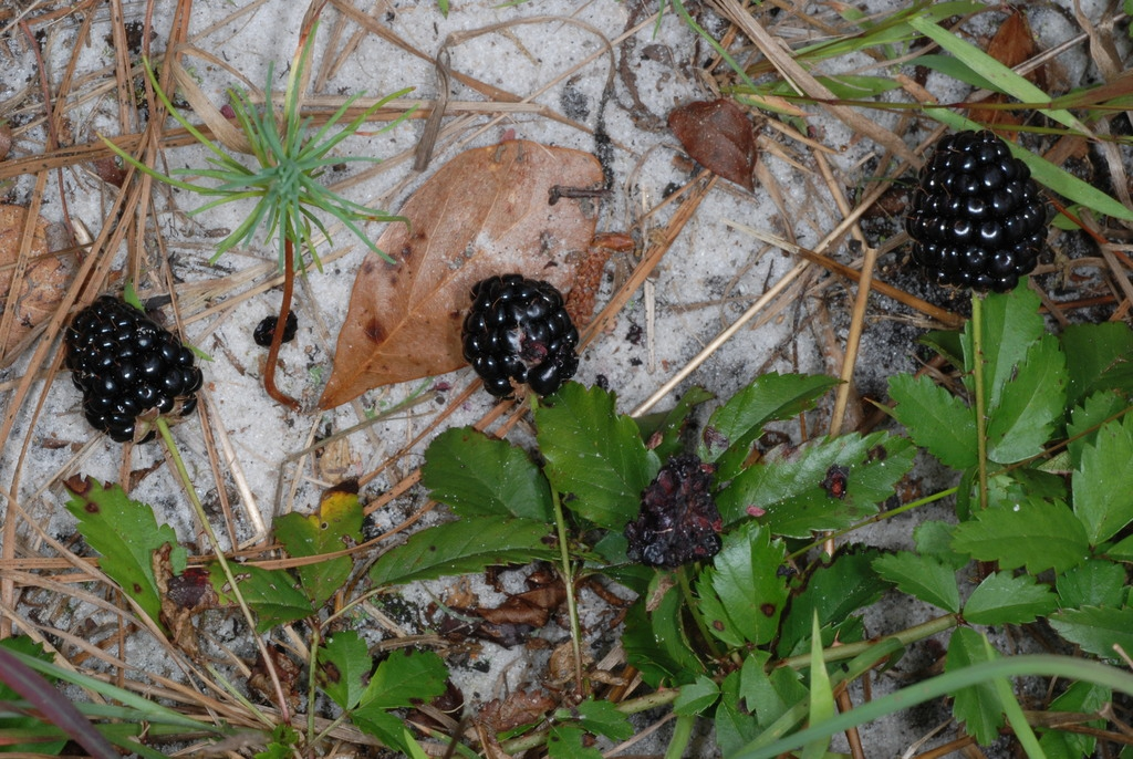 Fruits and leaves (McIntosh County, GA)-Mid Spring