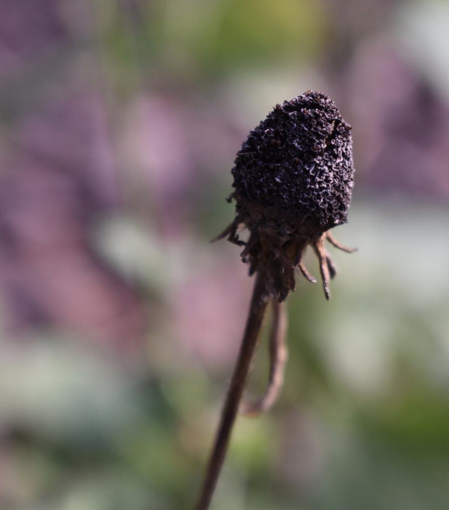 Rudbeckia Hirta