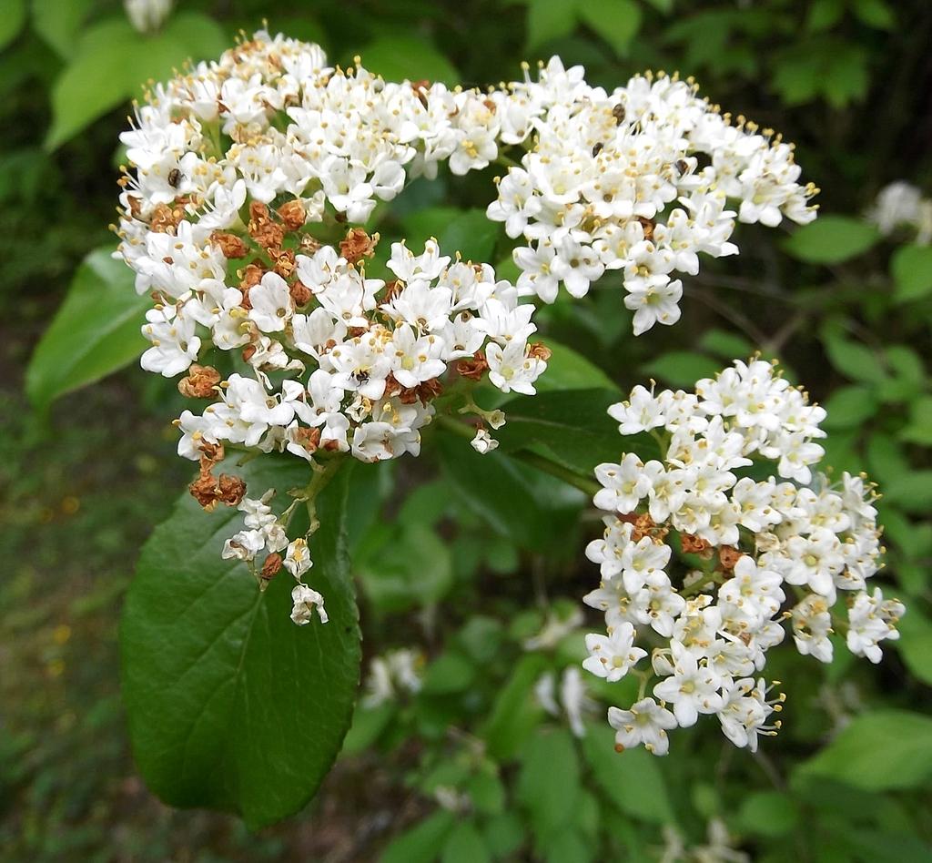Viburnum rufidulum's flowers close up