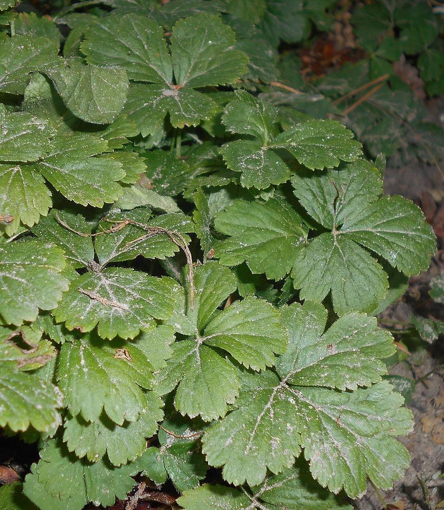 W. fragraroides